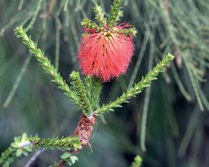 Beaufortia sparsa,  has vibrant red bottlebrush flowers. PHOTO: SUPPLIED