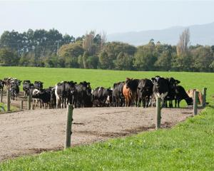 Lincoln University dairy farms have been cleaned, disinfected and restocked after herds were...