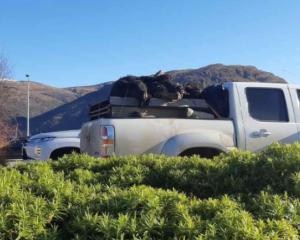 The dead pigs were spotted at Queenstown Airport. Photo: Supplied