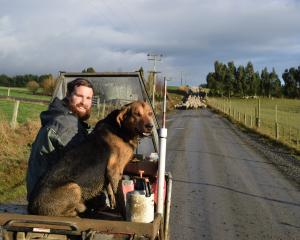 Federated Farmers Otago meat and wool chairman Logan Wallace prepares ewes for pregnancy scanning...