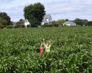 A former Outram market garden is now a field of maize grown for stock silage.PHOTO: STEPHEN...