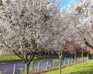 The cherry blossoms at Willowbank.