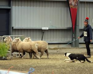 Jen Williams, of Waikaia, and Nood work the sheep towards an obstacle made of gates in the...