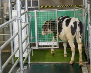 A calf enters the toilet. Photo: FBN
