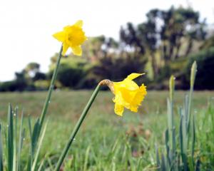Looking for the joy in little things in life, such as daffodils  flowering, helps reset your GPSS...