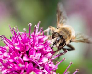 A honey bee collects pollen on a blossom. Photo: Getty Images