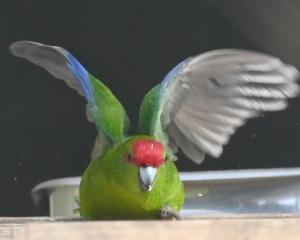 The kakariki or red-crowned parakeet. PHOTOS : LINDA ROBERTSON