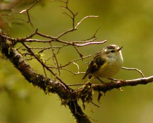 A rifleman, these the smallest of Aotearoa's birds are one of only two surviving members of a...