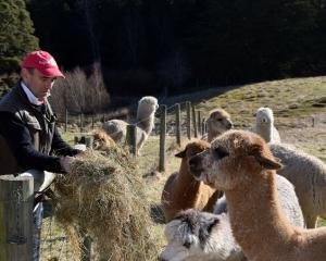 Andy Nailard, of Flagstaff Alpacas, feeds a herd of alpacas in North Taieri. PHOTOS: SHAWN MCAVINUE
