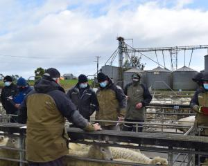 Livestock agents inspect sheep at the Balclutha Saleyards on the first day of Delta Alert Level 2...