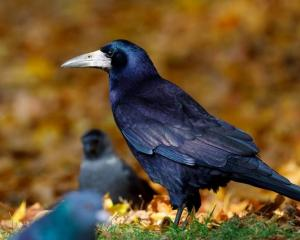 A rook in the wild. PHOTO: SUPPLIED