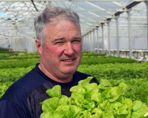 Janefield Peonies and Hydroponics owner Rodger Whitson insepcts a lettuce in his hothouse in...