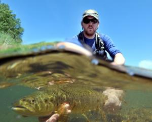 Dean Olsen, of the Otago Regional Council, prepares to release a brown trout into the river in...