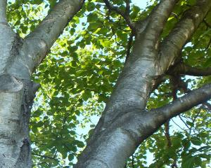 Bark of paper or canoe birch (Betula papyrifera) was used by Native Americans to make canoes.