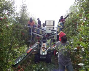 Ni-Vanuatu RSE workers get to grips with a new-age way of picking apples using a fruit harvesting...