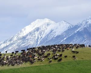 Cows on a dairy farm in Otago. Photo: Stephen Jaquiery