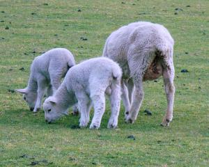 Lamb prices are expected to remain elevated until Christmas.