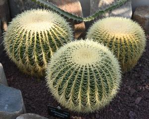 Echinocactus grusonii. PHOTO: LINDA ROBERTSON