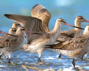 The Avon Heathcote Estuary hosts the bartail godwits every summer. PHOTO: DON PARISH
