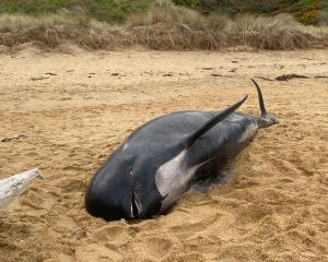 A dead female long-finned pilot whale, about 4.3m long, washed up at Kakanui's Campbells Bay on...