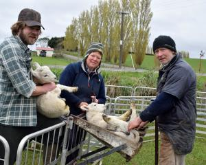 Docking lambs on their farm in Western Southland last week are (from left) Tim Ronald and his...