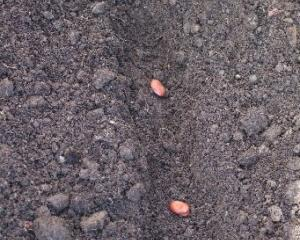 When sowing, put a few extra beans at the end of the row.