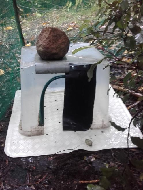 A feeding station (weighted down with a rock) sits on a mat. In time, the flaps will be dropped down to discourage opportunistic scavenging by blackbirds and takahe. Below: A newly-hatched Haast tokoeka kiwi.