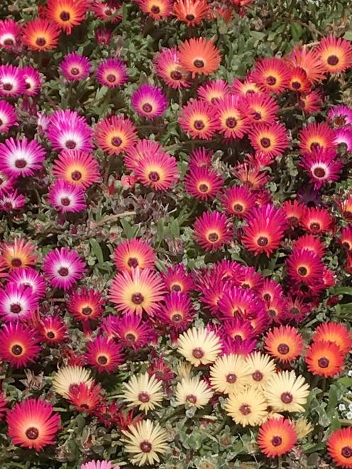 Livingstone daisies near the hospital entrance.