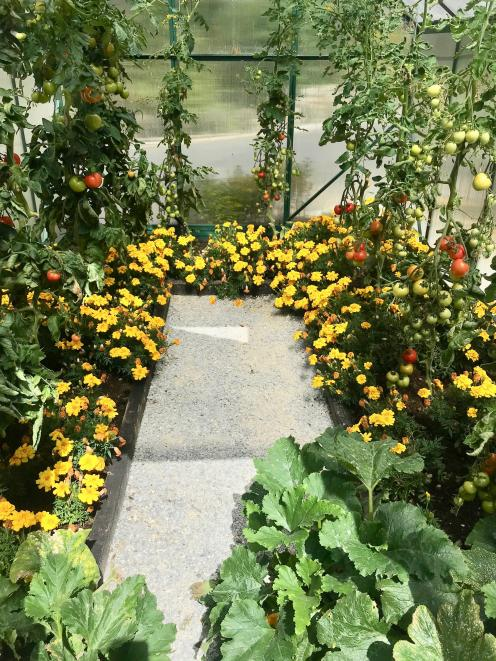 The greenhouse is packed with edibles, plus marigold to keep bugs away. PHOTOS: GILLIAN VINE