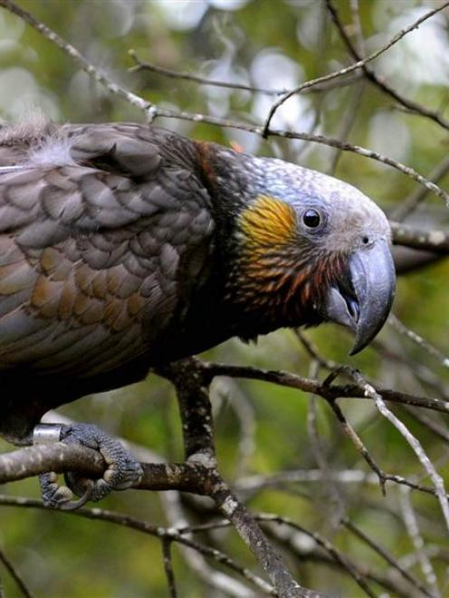 Kaka are a popular attraction at the ecosanctuary. Photo: Stephen Jaquiery (file)