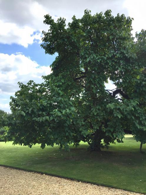 A mature black mulberry tree. Photo: Bettina Vine