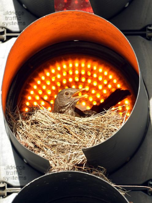 A blackbird nested in an orange light in 2014. Photo:Stephen Jaquiery