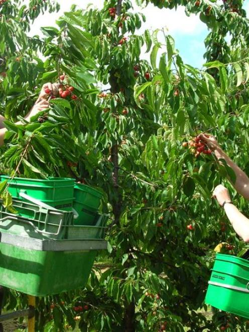 Workers are needed for cherry growers in the region. Photo: ODT files