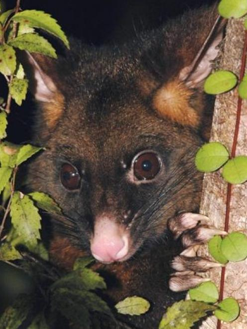 Possums are vectors for the spread of bovine Tb.