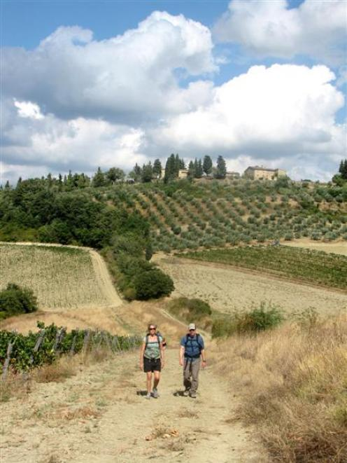Vineyards and olive groves criss-cross the Tuscan countryside.
