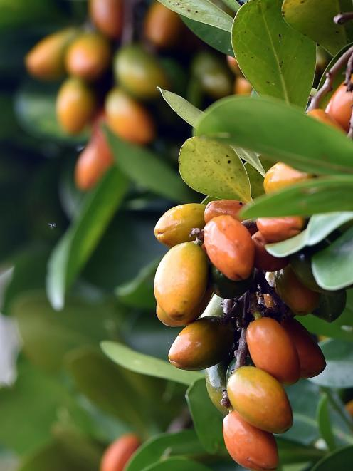 The ripe fruit of Karaka contains a lethal poison, and yet it was cultivated by southern Maori to...
