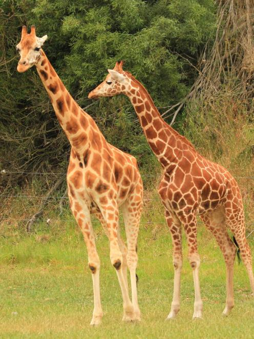Kamili (right) has already made friends with Harriet, one of four other giraffes at Orana...