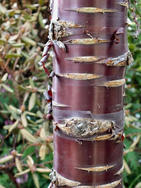 Prunus Southern Gem was planted in memory of Nancy Tidmarsh.