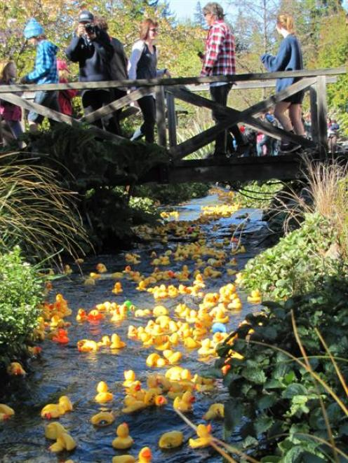 1500 plastic ducks bob off down Bullock Creek, Wanaka, yesterday. Photo by Mark Price.