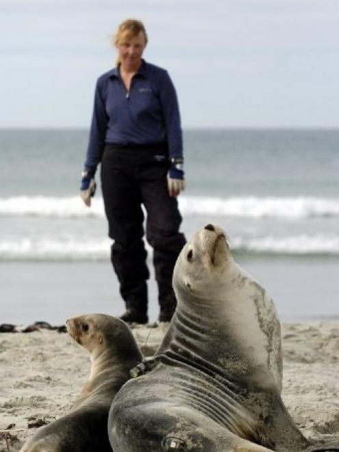 Dr Louise Chilvers, a Department of Conservation marine mammal scientific officer, pauses after...