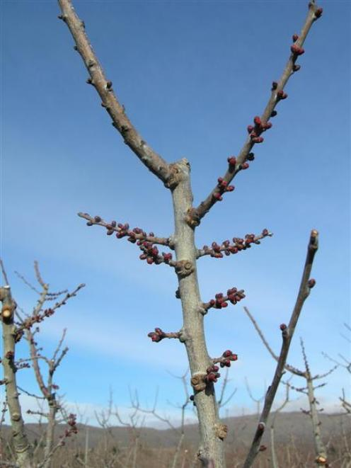 This apricot tree on a Rob's Rural Market orchard block at Earnscleugh has red buds, which is...
