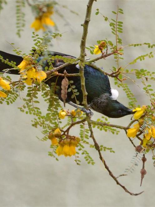 A tui feeds from a kowhai in the Dunedin Botanic Garden.