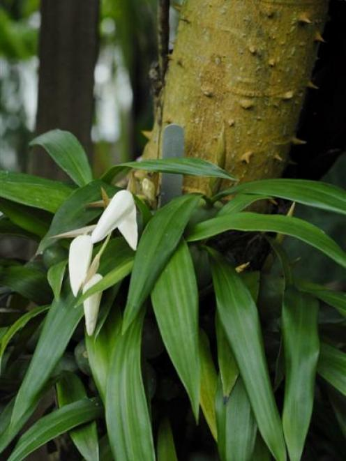 'Coelogyne cristata' Photo by Gregor Richardson.
