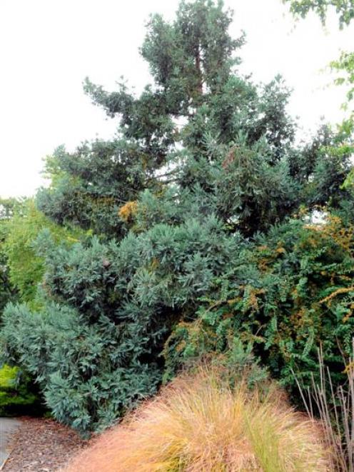 <i>Sequoia sempervirens</i> 'Filoli'.