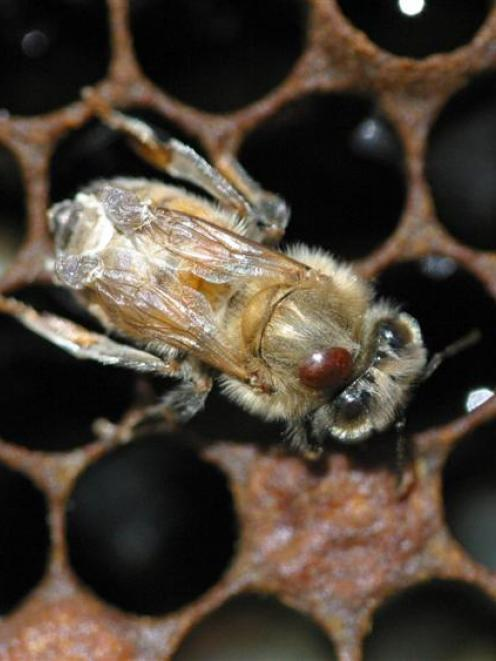 A bee carrying a varroa mite. Photo by HortResearch.