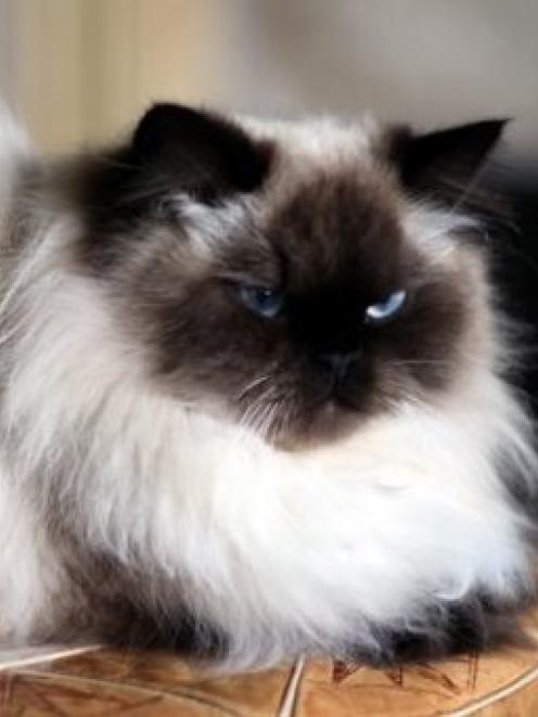 A black-and-white Himalayan cat. Photo Facebook
