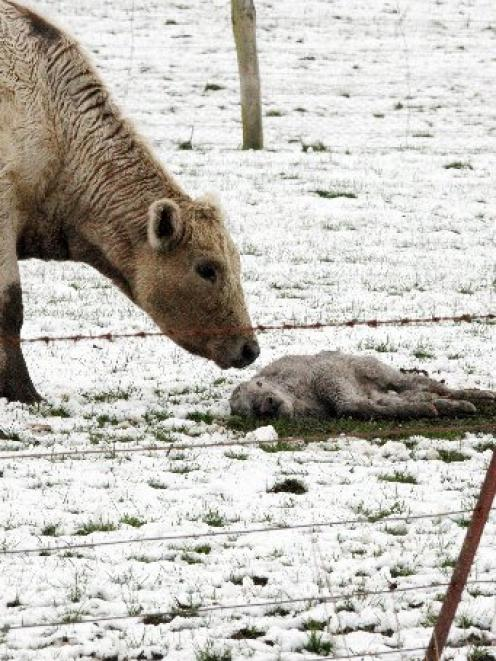 A cow stands over its dead calf in a snowy paddock near Owaka on Saturday. Photo by NZPA.