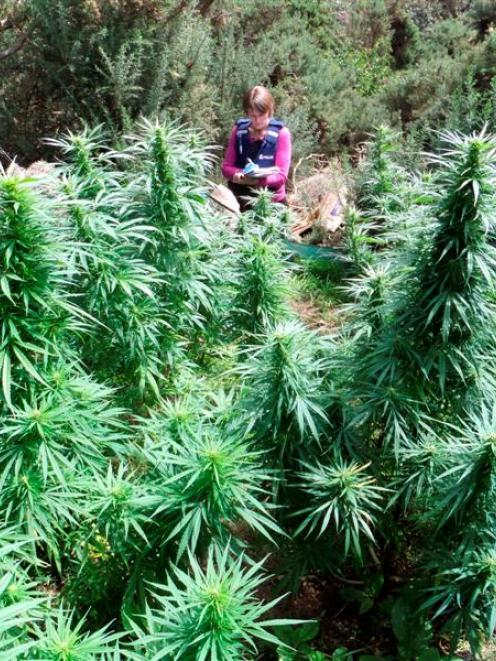 A detective at the scene of a cannabis patch uncovered in the Dunedin area in recent weeks. Photo...