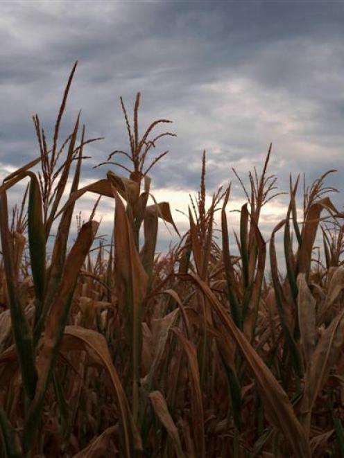 A drought affected corn crop is near Paris, Missouri. REUTERS/Adrees Latif