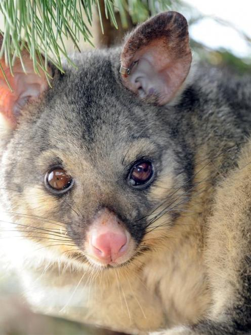 A group is aiming to eradicate possums on Otago Peninsula. Photo by Stephen Jaquiery.